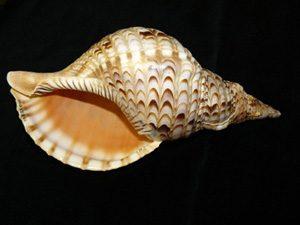 Charonia tritonis