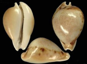 Nesiocypraea_teramachii_neocaledonica_holotype