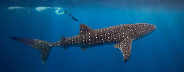 whale_shark_budget