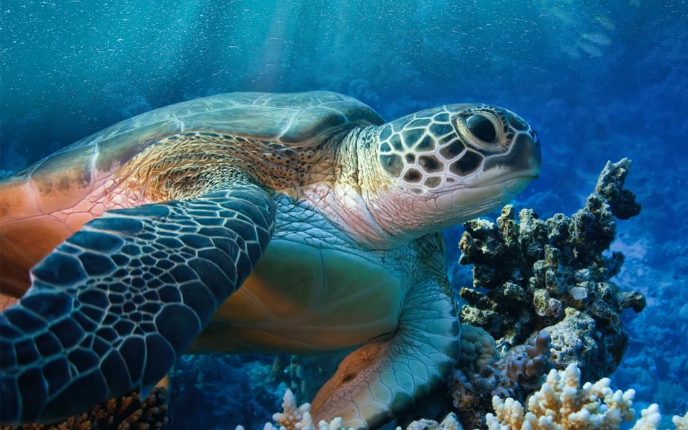 Снорклинг с черепахами